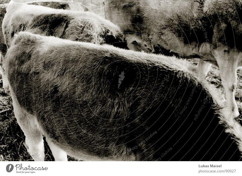 Tier ohne Grenzen: Die Kuh Fell Bulle Bauernhof Borsten Gras Wiese füttern kopflos muhen Säugetier Weide Schwarzweißfoto Fellmuster