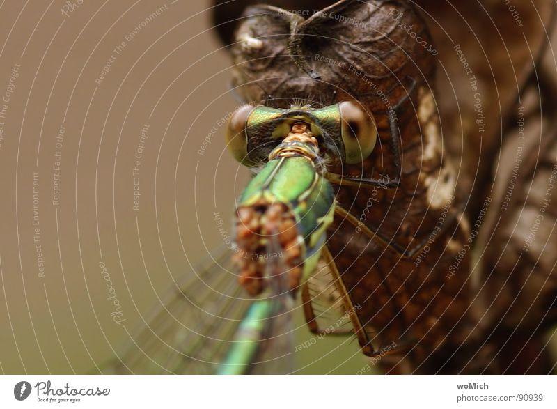 Libelle Sommer Auge Erholung Wiese Garten fliegen Flügel festhalten nah Insekt Teich Gewässer Tier