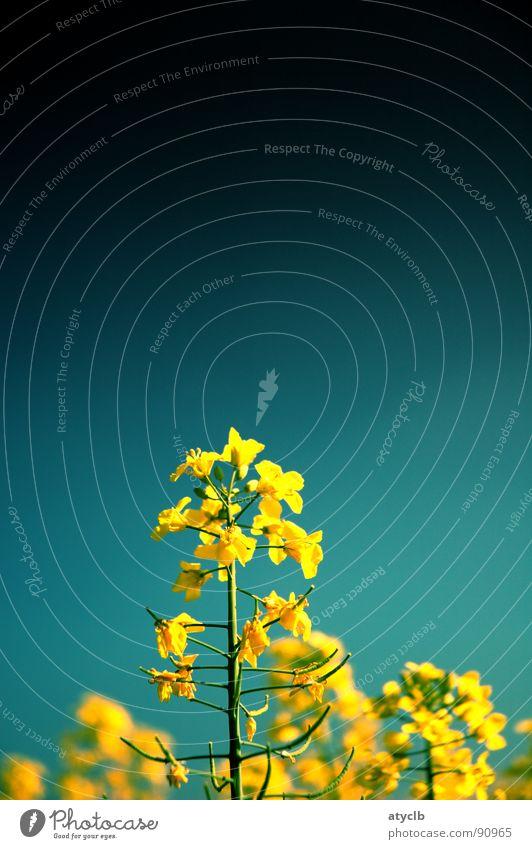 es gelbt so gelb Raps Feld Frühling Reifezeit Pflanze Biodiesel Landwirtschaft Wachstum Himmel Natur Ernte