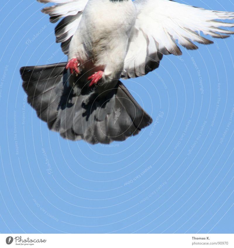 Speedbird nine zero six, cleared to land runway two four weiß schön Auge grau fliegen dreckig Luftverkehr Feder beobachten Frieden Flughafen Taube Schnabel flattern Federvieh Symbole & Metaphern
