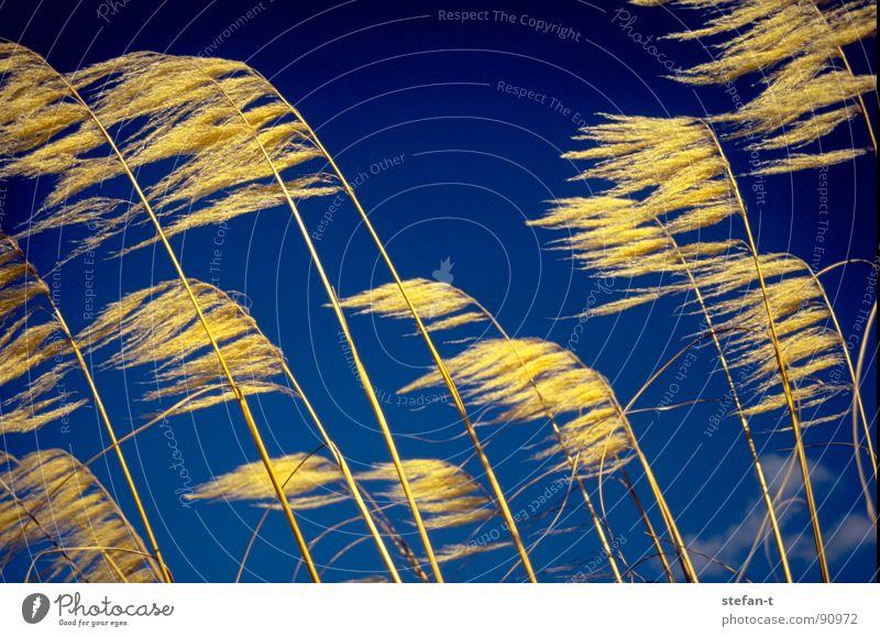 wind Neuseeland Gras verweht Halm gelb Stimmung blau diagonal Faser fadenförmig Physik trocken Sommer präriegras orange Kontrast Wind wehen stilisiert ruhig