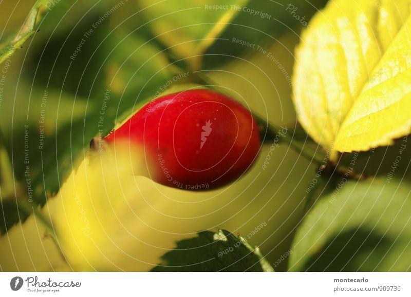 farbe Umwelt Natur Pflanze Sonnenlicht Herbst Sträucher Blatt Blüte Grünpflanze Wildpflanze Hagebutten dünn authentisch einfach frisch glänzend klein natürlich