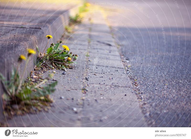 Straßengrün Natur Pflanze Blume Blatt Blüte Löwenzahn Kleinstadt Stadt Wachstum gelb grau Ausdauer standhaft Klima Kraft Leben Lebensfreude nachhaltig