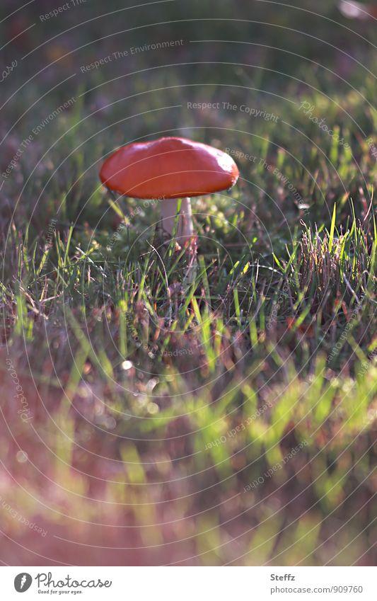 auffällig auf dem Rasen Umwelt Natur Herbst Schönes Wetter Pflanze Gras Wildpflanze Pilz Fliegenpilz Pilzhut Wiese natürlich schön grün rot Lichtstimmung