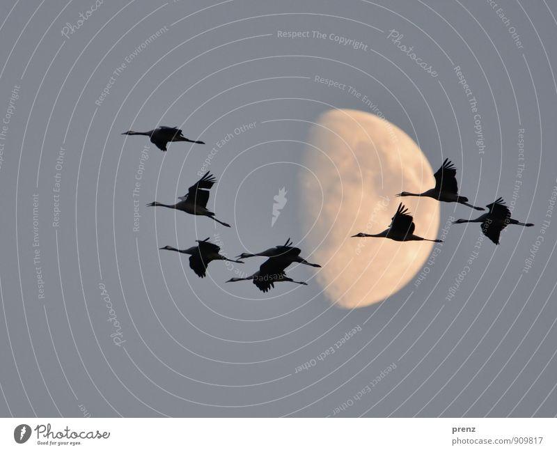 Acht Umwelt Natur Tier Mond Herbst Wildtier Vogel Tiergruppe Schwarm grau schwarz Kranich fliegen fliegend 8 Storchendorf Linum Farbfoto Außenaufnahme