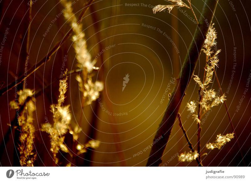 Licht See Gras gelb Stengel Halm Ähren glänzend Stimmung schön weich Rauschen Wiese zart beweglich sensibel federartig Sommer Frieden gold orange Wind Pollen