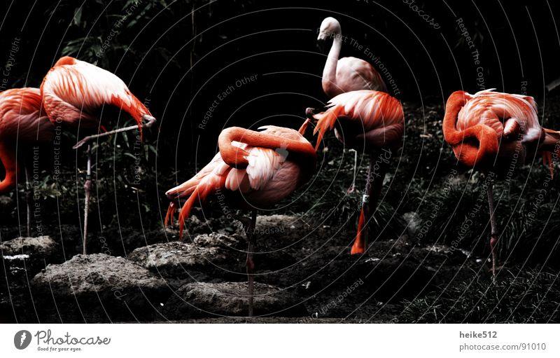 Körperpflege schön rot ruhig Zufriedenheit Vogel rosa Ordnung Feder Sauberkeit Reinigen gemütlich Hals Pfosten Tier Flamingo