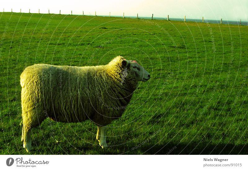 Germanys Next Superschaf Schaf grün Meer Feld Wiese Wolle Tier Zaun Wolken Wollpullover Sonne Hügel Deich Biotop Naturschutzgebiet Ostsee Fuß Körperhaltung