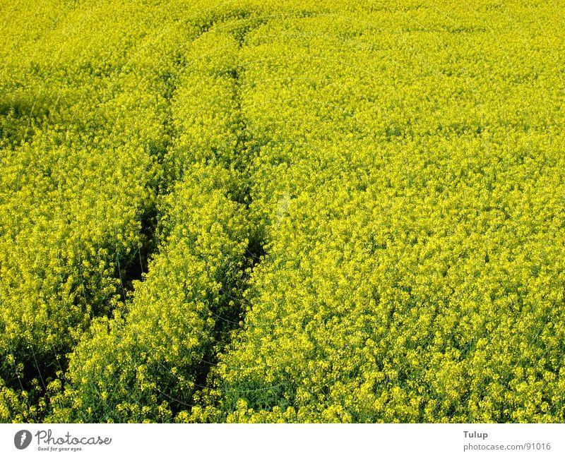 Rapsspur Natur Pflanze gelb Spuren Erdöl Rapsfeld Traktorspur