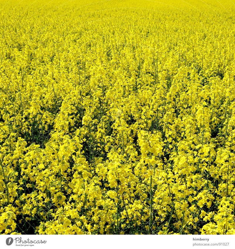 go yellow Natur Pflanze gelb Blüte Frühling Feld Landwirtschaft Erdöl Bioprodukte Raps Benzin Diesel Biodiesel