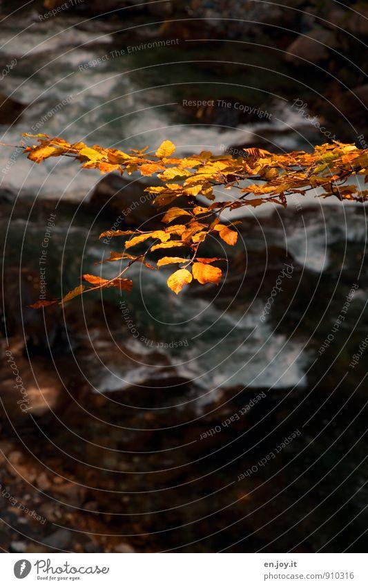 Blattgold Natur Wasser Herbst Ast Zweig Fluss gelb schwarz Traurigkeit Trauer Jahreszeiten herbstlich Herbstlaub Farbfoto Gedeckte Farben Außenaufnahme