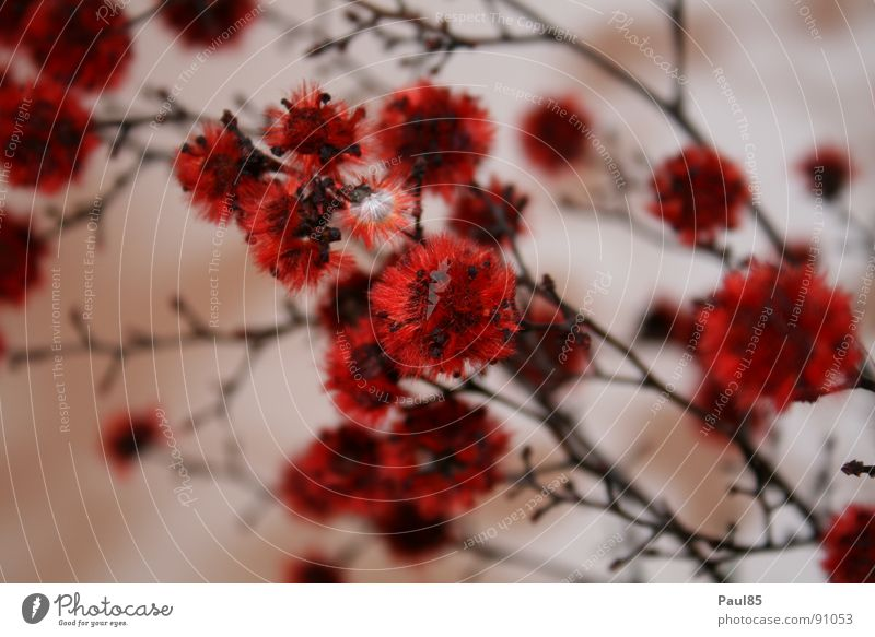 Rubinröte der Vollkommenheit Natur schön Pflanze rot Sommer Kunst perfekt