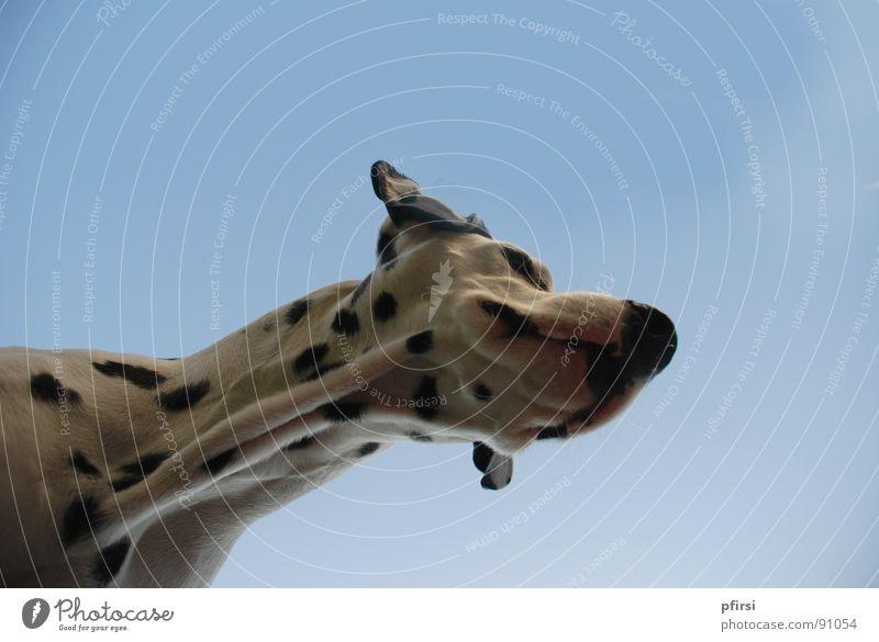 Hund von unten - 7 Dalmatiner Haustier Tier Dalmatien gepunktet Fell Froschperspektive Schnauze Fleck Säugetier Dog Chien Enzo Dalmation Dalmatian weiss schwarz
