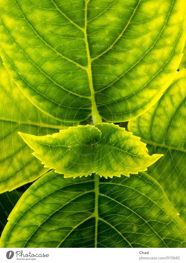 Horten Sie Garten Natur Pflanze Frühling Sommer Blume Blatt Grünpflanze Hortensie Hortensienblatt Hortensienblätter Gartenblume beobachten gelb grün ruhig
