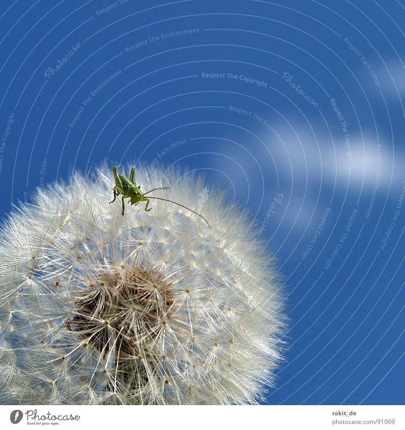 Los Kleiner, hüpf schon! Löwenzahn springen klein winzig grün hüpfen Wiese Feld Fühler Freude Heuschrecke heupferdchen schirmchen kitzlig
