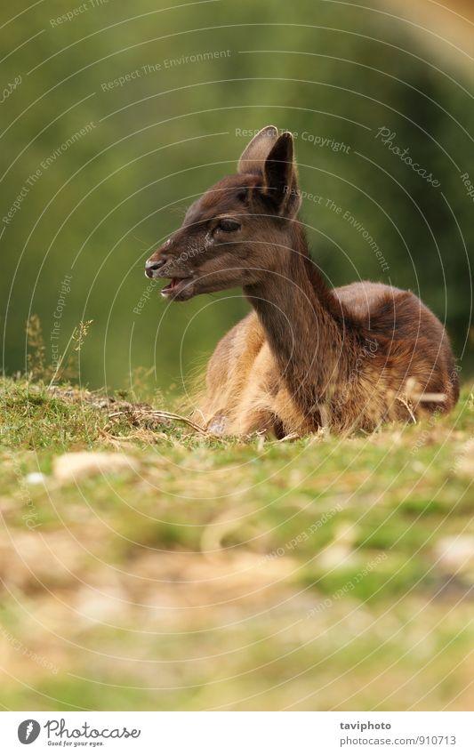 dunkles Damhirschkalb schön Gesicht Jagd Baby Natur Landschaft Tier Herbst Gras Park Wald Pelzmantel dunkel natürlich niedlich wild braun grün Wade jung Hirsche