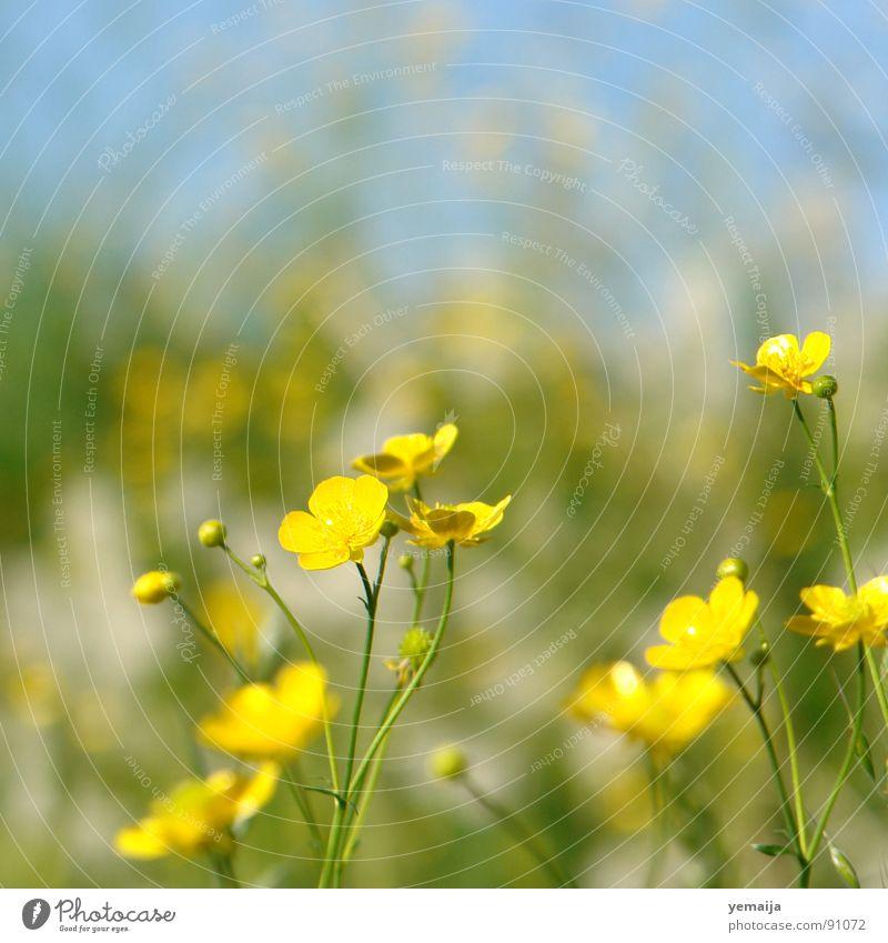ranunculus acris Blume grün blau Sommer gelb Wiese Blüte Gras Frühling Hintergrundbild frisch Rasen Hahnenfußgewächse Halm Blumenwiese saftig