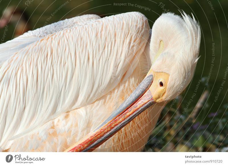 große Pelikanreinigung elegant schön Zoo Natur Tier Vogel wild gelb weiß Reinheit Idylle Prima Feder Tierwelt Wasser Schnabel Kopf Auge Beautyfotografie Avenue