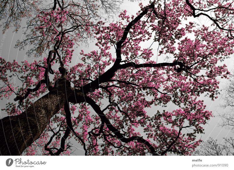 pink lady Baum Romantik mystisch Fantasygeschichte rosa unheimlich Wunder grau dunkel Trauer Verzweiflung Herbst Himmel Blick nach oben Baumstamm Ast