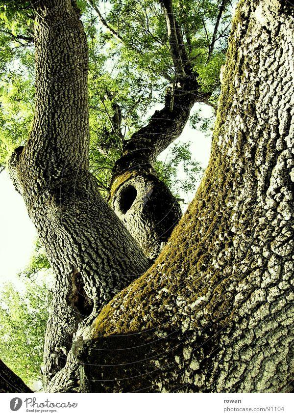 kletterbaum alt Baum grün Blatt Frühling Holz Kraft groß Klettern Ast Vertrauen stark Loch Baumkrone Zweig