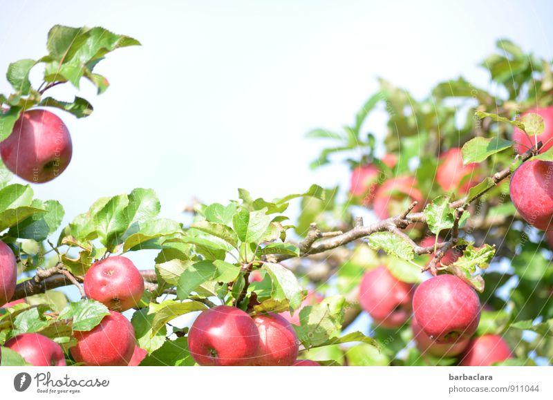pflückreif Frucht Apfel Natur Pflanze Himmel Herbst Baum Blatt Nutzpflanze Apfelbaum Garten Wachstum frisch Gesundheit saftig sauer süß viele rot Farbe genießen