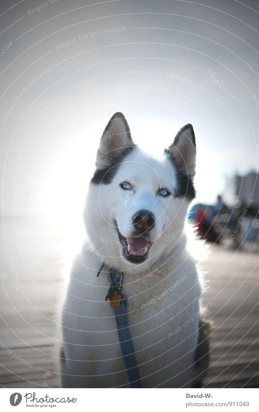 Treuester Begleiter Tier Haustier Hund Tiergesicht Fell Husky 1 beobachten Lächeln Blick warten sportlich außergewöhnlich schön weiß Zufriedenheit friedlich