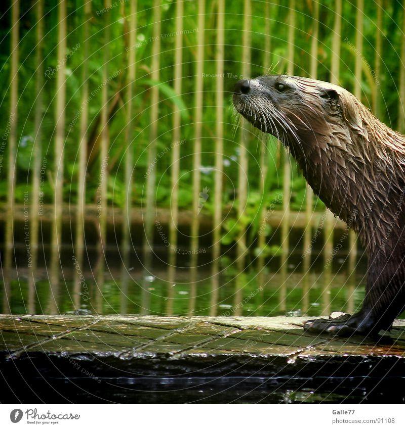 Auf dem Laufsteg Wasser Tier Schwimmen & Baden laufen nass Fell tauchen Säugetier Australien Schnauze Präsentation Landraubtier Otter