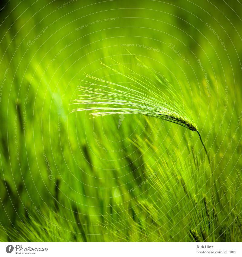 Green Field Umwelt Landschaft Frühling Sommer Pflanze Nutzpflanze Ähren Feld Wachstum grün Einsamkeit einzigartig elegant Getreide Getreidefeld Getreideernte