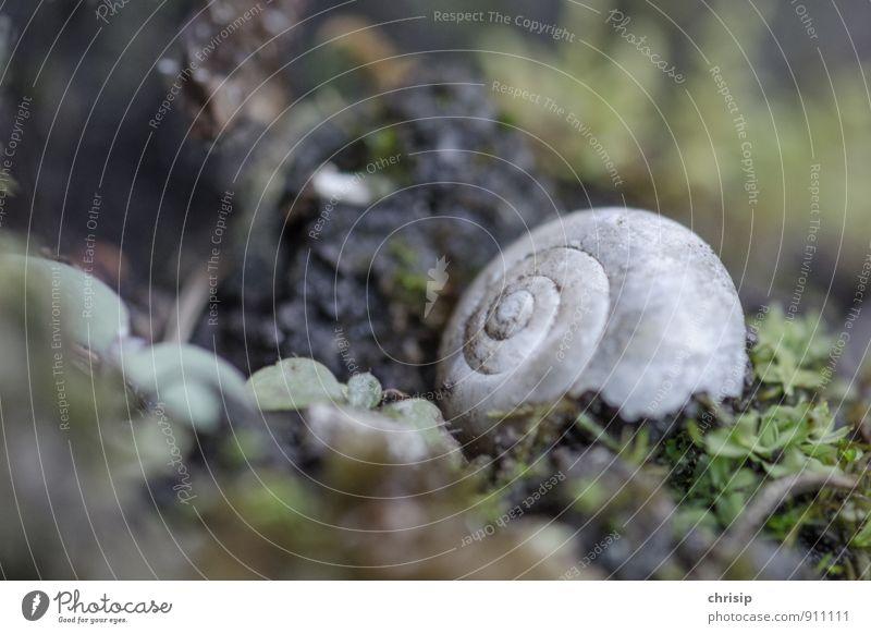 ausgezogen Umwelt Natur Tier Pflanze Gras Moos Blatt Wildtier Totes Tier Schnecke Schneckenhaus 1 Spirale liegen alt kaputt grau grün Trauer Tod Einsamkeit