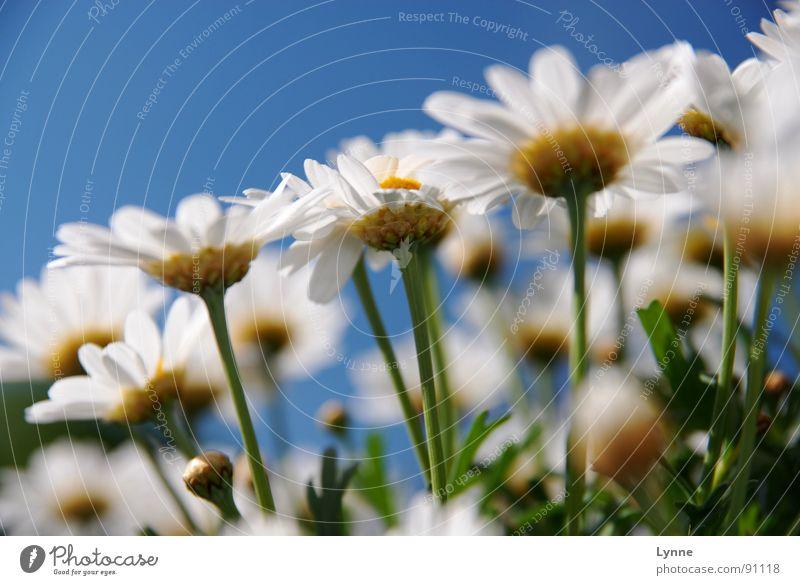 Sommergefühle Natur Himmel weiß Blume grün blau Sommer Blüte Frühling Blütenknospen Margerite
