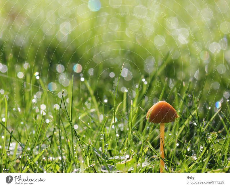Minipilz... Umwelt Natur Landschaft Pflanze Herbst Gras Grünpflanze Pilz Garten glänzend stehen Wachstum ästhetisch einzigartig klein nass natürlich braun grün