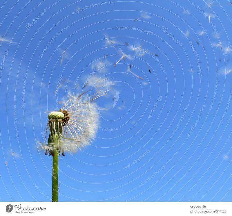 Samen Flieger Staffel Himmel Blume blau Frühling Freiheit fliegen Stengel Blühend Löwenzahn Schönes Wetter Samen Schweben