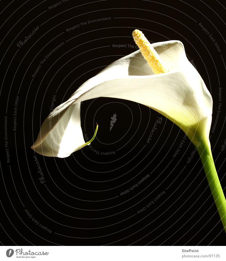 Calla im Licht Blume weiß schwarz Blüte Garten Park flower white light black