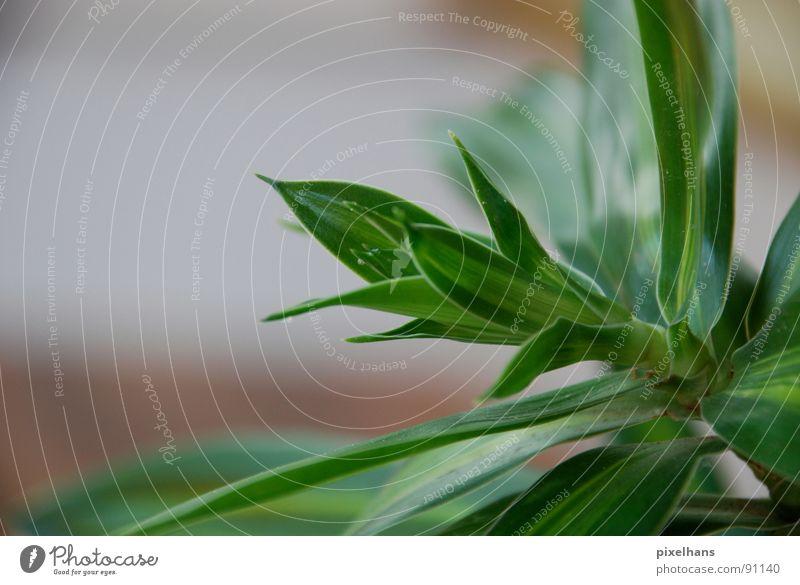 saftig grün Pflanze exotisch Palme klein Farbfoto Innenaufnahme Palmenwedel Grünpflanze Detailaufnahme Bildausschnitt Anschnitt Textfreiraum links Photosynthese