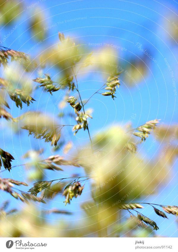 Bild gefunden... Gras grün Frühling Wachstum Pflanze Wiese schön Unschärfe Sommer blau Himmel Blühend Pollen fliegen Natur allergen Auslöser tränende augen