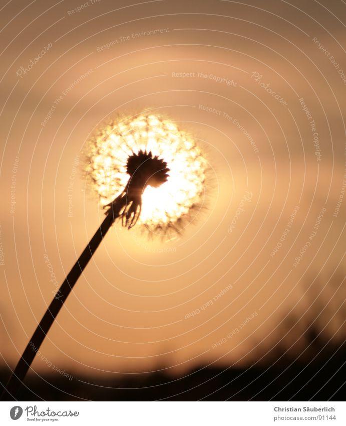 Glowing Blowball Himmel Sonne Blume Blüte Stengel Löwenzahn Samen glühen Blütenstempel