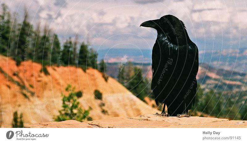 Ein Rabe... Sommer schwarz Wolken Tod orange Vogel sitzen USA Aussicht böse Schnabel Weizen Rabenvögel Krähe Getreide Bryce Canyon