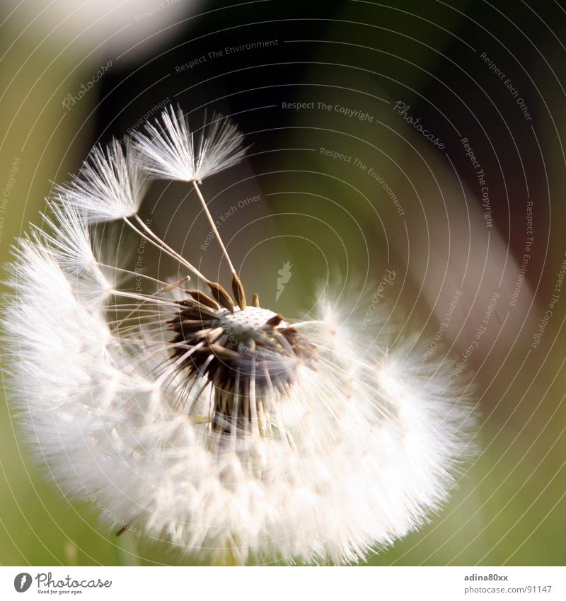 Abgeflogen Natur grün Sommer Blume Traurigkeit Frühling Bewegung Wege & Pfade Freiheit fliegen frisch Wind Vergänglichkeit Trauer Samen Löwenzahn