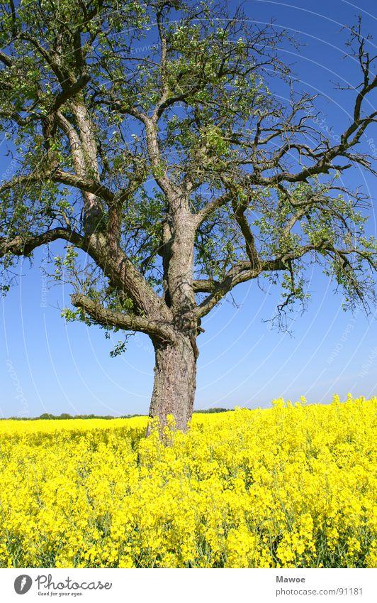 Baum im Raps gelb grün Baumrinde Landwirtschaft Landschaft Frühling Frühlingsgefühle Feld blau Ast Außenaufnahme