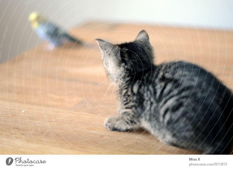 auf der Lauer Tier Haustier Katze Vogel 2 warten Gefühle Stimmung Selbstbeherrschung Angst Todesangst gefährlich bedrohlich Konzentration Wellensittich