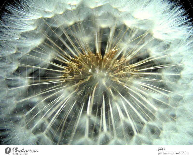 pusteblume Natur Blume Wiese fliegen Löwenzahn leicht fein