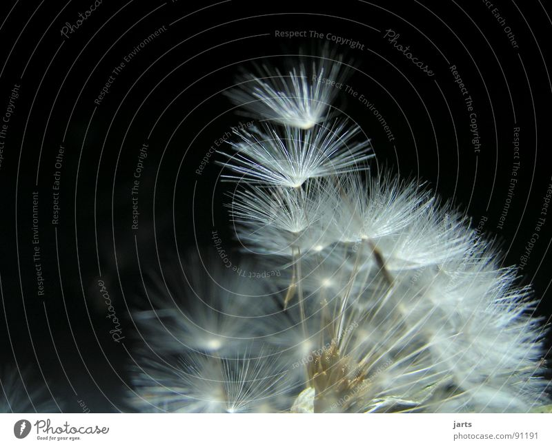 pusteblume II Wiese fliegen Löwenzahn leicht Schweben fein