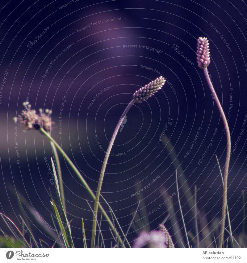 ,,**,I,,I,, Wiese Blumenwiese Blühend Pflanze Blüte Wachstum Makroaufnahme bestäuben Frühling Sommer violett grün Blumenstrauß Biene Frühlingsgefühle schön zart