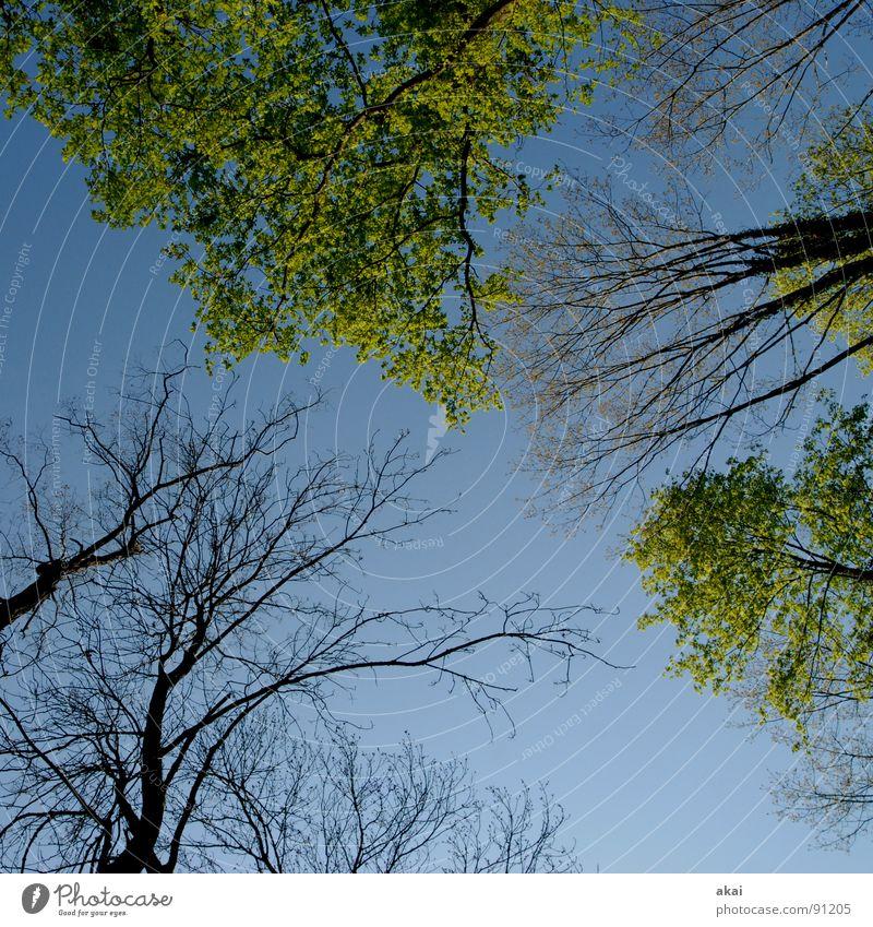 Himmel auf Erden 15 Nadelbaum Wald himmelblau Geometrie Laubbaum Perspektive Nadelwald Laubwald Waldwiese Paradies Waldlichtung ruhig grün Pflanze Baum Blatt