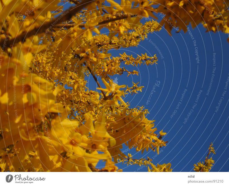 gelb trifft blau blau-gelb zusätzlich Pflanze Blume Blüte Sommer Frühling Frühlingsgefühle Hintergrundbild Farbe Natur Kontrast Himmel Blick nach oben
