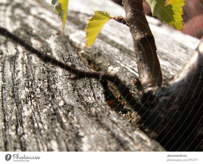 Grenzgänger Baum grün Blatt Holz Kraft Dach Wunsch exotisch Baumrinde Wurzel stur ehrgeizig