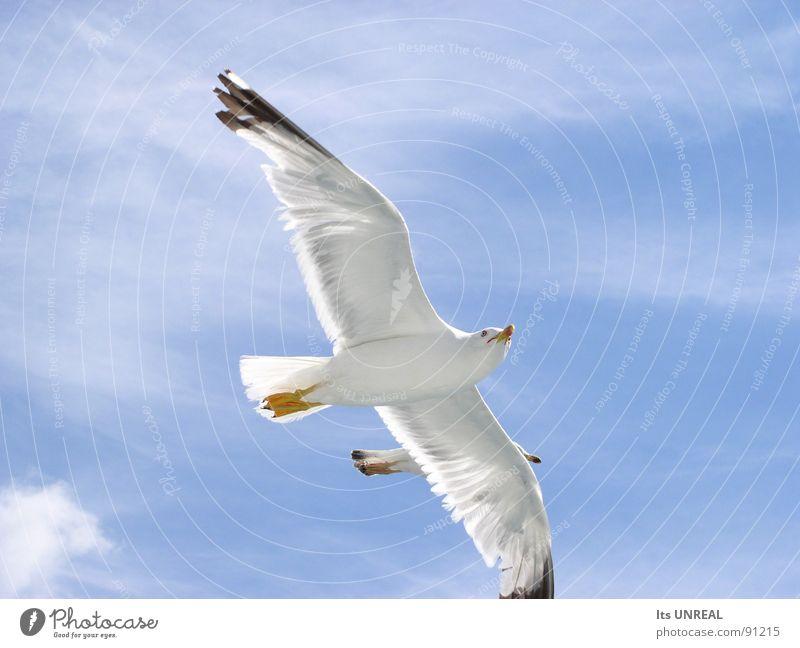 Extreme Nahaufname von zwei fliegenden Vögeln Himmel weiß blau Sommer Wolken Vogel groß Luftverkehr Feder nah