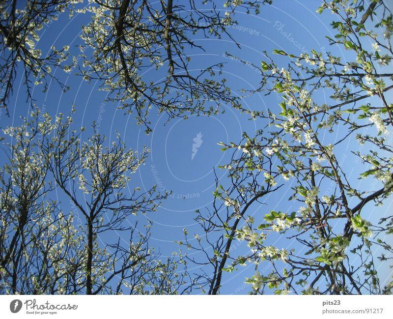 Frühling Himmel Baum blau Blüte mehrere Ast Baumrinde