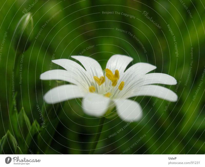 Weißes Waldsternchen weiß grün gelb Blüte Makroaufnahme Nahaufnahme Frühling Miere Stern (Symbol) Pollen