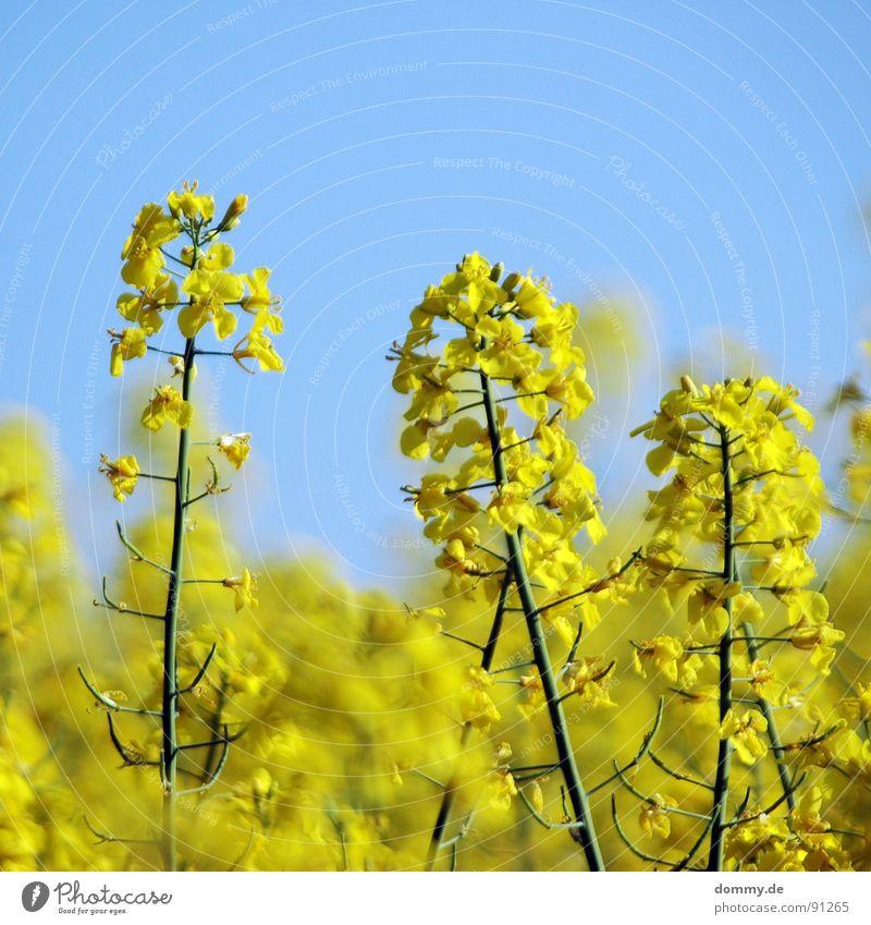 R - A - P -S Natur schön Himmel Sommer gelb Blüte Wärme Feld Wachstum Physik Amerika Erdöl Schönes Wetter Ackerbau Tiefenschärfe Raps